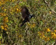 Tui_on_the_wing.jpg